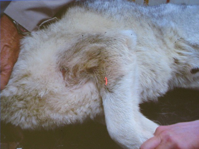 Asociace střihačů - Dermatologie psů - část 1.